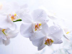 Фотообои Белая орхидея