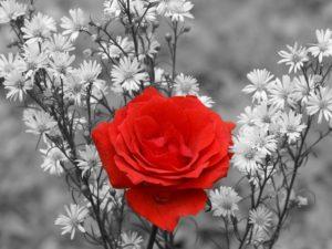 Фотообои Красная роза