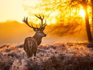 Фотообои Одинокий олень