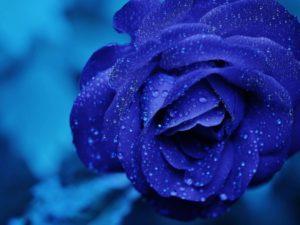 Фотообои Синяя роза